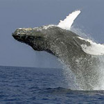 Whale Watch Cruise (Seasonal) in Kailua Kona, Big Island HI