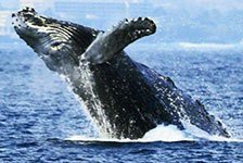 Whale Watch Cruise (Seasonal) in Kailua Kona, Big Island, Hawaii