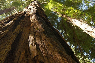 Muir Woods Tour of California Coastal Redwoods in San Francisco, California