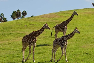 San Diego Zoo Safari Park in Escondido CA