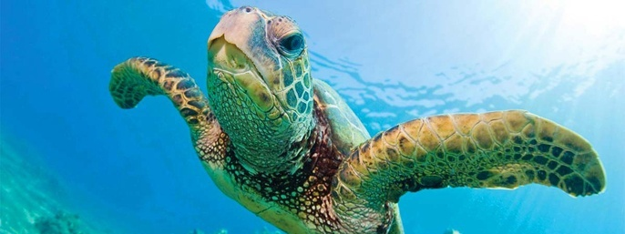 Turtles Guaranteed Snorkel Sail in Honolulu HI
