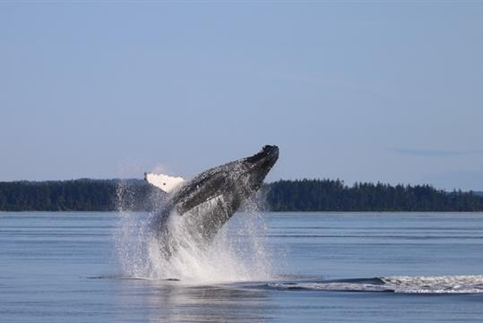 Anacortes Guaranteed Whale Watch Tour in Anacortes, WA