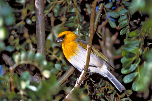 The Critically Endagered Palila is Endemic to Hawaii