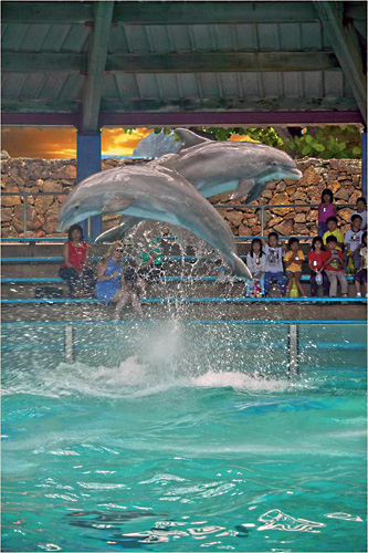 Hawaiian Ocean Theater Show --- Held twice a day. Meet our dolphins, sea lions and penguin all in one show
