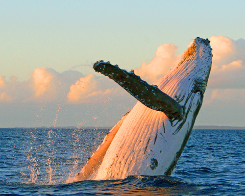 Sunrise Whale Watch from Lahaina in Lahaina, Maui, Hawaii