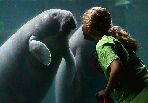 Manatee Up-close viewing at Tampa's Lowry Park Zoo