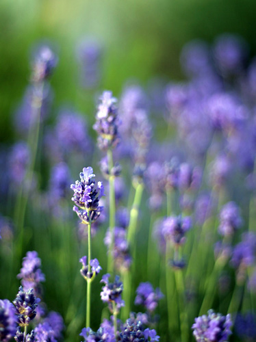 Invigorating Lavender