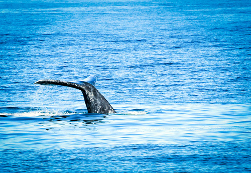Whale Watching with Birch Aquarium in San Diego, California
